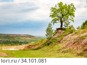 The tree grows on a hillside. Bare roots hang in the air and cling to the slope. Стоковое фото, фотограф Акиньшин Владимир / Фотобанк Лори