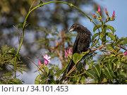 Купить «Smooth-billed ani (Crotophaga ani) Cat Island, Bahamas», фото № 34101453, снято 11 июля 2020 г. (c) Nature Picture Library / Фотобанк Лори
