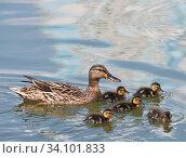 Купить «Утка и пять утят плавают в пруду», фото № 34101833, снято 28 июня 2020 г. (c) E. O. / Фотобанк Лори