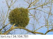 Купить «Mistletoe on tree, Wintertime, Germany, Europe.», фото № 34104781, снято 1 февраля 2018 г. (c) age Fotostock / Фотобанк Лори