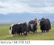 Купить «Domestic Yak ( Jak, Bos mutus ) on their summer pasture. Alaj Valley in front of the Trans-Alay mountain range in the Pamir mountains. Asia, central Asia, Kyrgyzstan.», фото № 34119121, снято 6 июля 2019 г. (c) age Fotostock / Фотобанк Лори