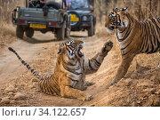 Купить «Bengal tiger (Panthera tigris tigris) mother warding off her subadult cub. Tourist safari trucks in background. Ranthambore National Park, Rajasthan, India.», фото № 34122657, снято 13 июля 2020 г. (c) Nature Picture Library / Фотобанк Лори