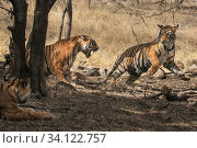 Купить «Bengal tiger (Panthera tigris tigris) female discouraging her sub adult cub from coming near. Ranthambore National Park, Rajasthan, India.», фото № 34122757, снято 13 июля 2020 г. (c) Nature Picture Library / Фотобанк Лори