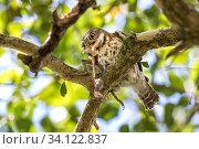 Купить «Cuban pygmy owl (Glaucidium siju) in a tree feeding on Cuban Tree frog (Osteopilus septentrionalis). Bermejas, Cuba.», фото № 34122837, снято 10 июля 2020 г. (c) Nature Picture Library / Фотобанк Лори
