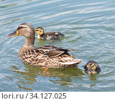 Купить «Утка с двумя утятами плавают в пруду», фото № 34127025, снято 28 июня 2020 г. (c) E. O. / Фотобанк Лори