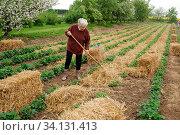 Eine Frau verteilt Stroh zwischen den Erdbeereihen. So bleiben die Fruechte sauber! Стоковое фото, фотограф Zoonar.com/Helga Mahler / easy Fotostock / Фотобанк Лори