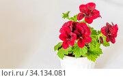 Bright and delicate inflorescences of royal geranium (pelargonium) burgundy. In a white flower pot. Стоковое фото, фотограф Акиньшин Владимир / Фотобанк Лори