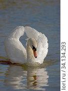 Купить «Mute swan (Cygnus olor) in aggressive posture, UK.», фото № 34134293, снято 4 августа 2020 г. (c) Nature Picture Library / Фотобанк Лори