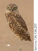 Купить «Burrowing owl, (Athene cunicularia), Arizona, USA, August.», фото № 34134297, снято 3 августа 2020 г. (c) Nature Picture Library / Фотобанк Лори