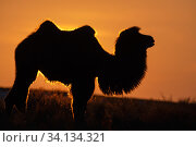 Bactrian camel (Camelus bactrianus) male silhouetted at sunset, living in the wild but owned by a camel herdsman, Kalamaili Nature Reserve, Xinjiang, China. Стоковое фото, фотограф Staffan Widstrand / Wild Wonders of China / Nature Picture Library / Фотобанк Лори