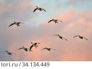 Купить «Greylag goose (Anser anser) flock in flight head on as they head for roost at dusk, Gloucestershire, UK, November.», фото № 34134449, снято 4 июля 2020 г. (c) Nature Picture Library / Фотобанк Лори