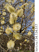 Pussy willow / Goat willow (Salix caprea) tree flowering, with mass of male catkins, Cornwall, UK, March. Стоковое фото, фотограф Nick Upton / Nature Picture Library / Фотобанк Лори