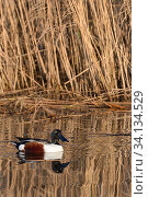 Northern shoveler drake (Anas clypeata) reflected in calm water as it swims past a dense stand of Common reeds (Phragmites australis) in flooded marshland... Стоковое фото, фотограф Nick Upton / Nature Picture Library / Фотобанк Лори