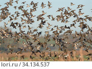 Dense flock of Common teal (Anas crecca), Wigeon (Anas penelope) and a few Northern shoveler (Anas clypeata) flying over flooded marshes in winter, RSPB... Стоковое фото, фотограф Nick Upton / Nature Picture Library / Фотобанк Лори