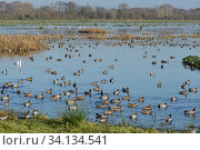 Купить «Wigeon (Anas penelope) flock and other wildfowl on flooded marshy pastureland in winter sunshine, Catcott Lows National Nature Reserve, Somerset Levels, UK, December.», фото № 34134541, снято 4 августа 2020 г. (c) Nature Picture Library / Фотобанк Лори