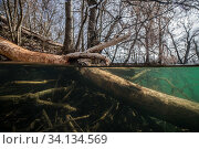 Tree felled by beavers,with marks of their teeth on it, near a beaver lodge, underwater. Vieille Thielle (Alte Zihl), Neuchatel, Switzerland. April. Photographed for The Freshwater Project. Стоковое фото, фотограф Michel Roggo / Nature Picture Library / Фотобанк Лори