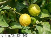 Купить «Branch with yellow lemons close-up», фото № 34134865, снято 6 июня 2020 г. (c) Татьяна Ляпи / Фотобанк Лори
