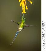Купить «Green thorntail hummingbird ( Discosura conversii) feeding at flower, Buenaventura Reserve, Ecuador.», фото № 34134897, снято 3 августа 2020 г. (c) Nature Picture Library / Фотобанк Лори
