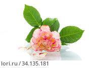 Купить «bright pink rose with green leaves, on a white background», фото № 34135181, снято 1 июля 2020 г. (c) Peredniankina / Фотобанк Лори