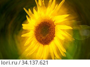 Close-up with centrally rotated double exposure of a sunflower (lat: Helianthus annuus) in the sidelight. Nahaufnahme mit zentral verdrehter Doppelbelichtung... Стоковое фото, фотограф Zoonar.com/Andy Nowack / age Fotostock / Фотобанк Лори