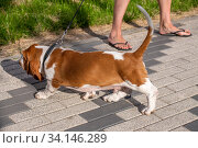 Купить «Basset Hound dog on a walk in the summer», фото № 34146289, снято 23 июня 2020 г. (c) Володина Ольга / Фотобанк Лори