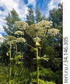Купить «The Heracleum sosnowskyi - umbrella weed plant», фото № 34146305, снято 30 июня 2020 г. (c) Володина Ольга / Фотобанк Лори