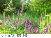Blooming sage for herbal medicine. Summer natural floral background with flowers of medicinal healing herbs of purple salvia and clover in a fragrant meadow. Стоковое фото, фотограф Светлана Евграфова / Фотобанк Лори