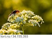 Купить «Жук Cantharinae — подсемейство жуков семейства мягкотелок сидит на цветке при закатном солнце», эксклюзивное фото № 34155393, снято 18 июня 2020 г. (c) Игорь Низов / Фотобанк Лори