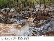 Купить «Spotted deer (Axis axis) in the forest», фото № 34155929, снято 29 августа 2017 г. (c) Татьяна Ляпи / Фотобанк Лори