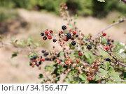 Wild blackberry (Rubus fruticosus) Стоковое фото, фотограф Татьяна Ляпи / Фотобанк Лори