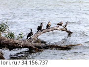 Cape cormorant (Phalacrocorax capensis) Стоковое фото, фотограф Татьяна Ляпи / Фотобанк Лори
