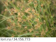 background with sedge grasses. Стоковое фото, фотограф Tamara Kulikova / Фотобанк Лори