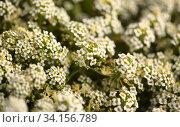 Background with flowering white Lobularia maritima. Стоковое фото, фотограф Tamara Kulikova / Фотобанк Лори
