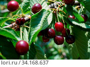 Reife rote Kirschen an einem Kirschbaum im Sommer. Стоковое фото, фотограф Zoonar.com/Heiko Kueverling / easy Fotostock / Фотобанк Лори