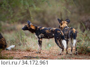 Wild Dog (Lycaon pictus) in rain, in Samburu National Reserve, Kenya, September. Endangered. Стоковое фото, фотограф Oriol  Alamany / Nature Picture Library / Фотобанк Лори