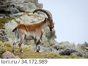 Walia ibex (Capra walie) male at 4,300 meters near Bwahit pass, Simien Mountains National Park, Amhara, Ethiopia, September. Стоковое фото, фотограф Oriol  Alamany / Nature Picture Library / Фотобанк Лори