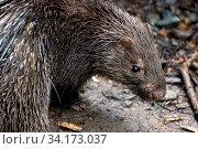Philippine porcupine (Hystrix pumila), Philippines. Vulnerable species. Стоковое фото, фотограф Dario Novellino / Nature Picture Library / Фотобанк Лори