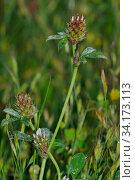 Купить «Knotted clover (Trifolium striatum), locally rare plant, Fairmile Common, Esher, Surrey, England, June.», фото № 34173113, снято 12 июля 2020 г. (c) Nature Picture Library / Фотобанк Лори