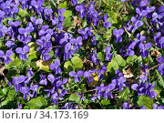 Sweet violets (Viola odorata), Riddlesdown, Surrey, England, February. Стоковое фото, фотограф Linda Pitkin / Nature Picture Library / Фотобанк Лори