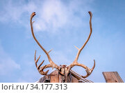 Close up of a reindeer massive antlers attached to the top of a wooden hut in native Sami people camp, Tromso region, Northern Norway. Стоковое фото, фотограф Zoonar.com/Pawel Opaska / easy Fotostock / Фотобанк Лори
