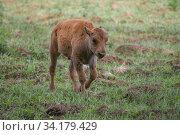 Маленький теленок зубра идет по полю летним днем. Стоковое фото, фотограф Виктор Карасев / Фотобанк Лори