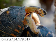 Купить «Radiated tortoise (Astrochelys radiata) mating, Tsimanampetsotsa National Park, Madagascar, December. Critically Endangered species», фото № 34179517, снято 3 августа 2020 г. (c) Nature Picture Library / Фотобанк Лори