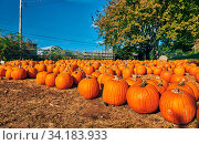 Купить «Pumpkin patch. Fresh pumpkins on a farm field. Rural landscape, Massachusetts, USA.», фото № 34183933, снято 13 июля 2020 г. (c) easy Fotostock / Фотобанк Лори