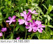 Купить «Carthusian Pink, medieval medicinal herb of the abbeys.», фото № 34185081, снято 27 июня 2020 г. (c) easy Fotostock / Фотобанк Лори