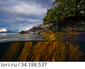 Bull kelp (Nereocystis luetkeana) above and below sea surface, Queen Charlotte Strait, British Columbia, Canada. September. Стоковое фото, фотограф David Hall / Nature Picture Library / Фотобанк Лори