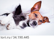 Купить «Happy couple of dogs resting and hugging eachother under the blanket in bed, looking tired and sleepy», фото № 34190445, снято 16 июля 2020 г. (c) age Fotostock / Фотобанк Лори