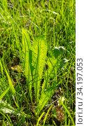 Купить «Close-up of leaves dandelion (Taraxacum officinale) in a meadow, top view, Sunny day», фото № 34197053, снято 14 июня 2020 г. (c) Григорий Стоякин / Фотобанк Лори