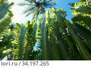 Купить «Cactus Euphorbia trigona (African milk tree) bottom-up shot against the sky and the crown of a palm tree», фото № 34197265, снято 25 июля 2016 г. (c) Куликов Константин / Фотобанк Лори