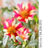 Купить «Портулак. Цветы крупным планом», фото № 34206053, снято 10 июля 2020 г. (c) E. O. / Фотобанк Лори