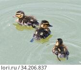 Купить «Три утенка плавают в пруду», фото № 34206837, снято 28 июня 2020 г. (c) E. O. / Фотобанк Лори